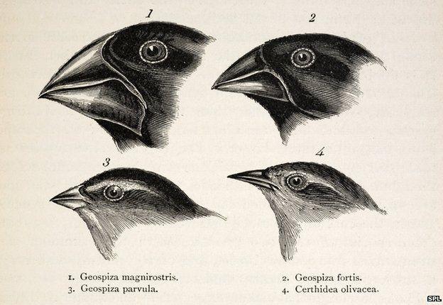 sketch by Darwin
