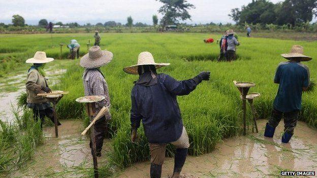 Thai men and women gather to harvest rice on June 10, 2014 in Ban San Ka Wan, Thailand.