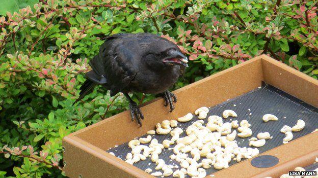 Crow on feeder