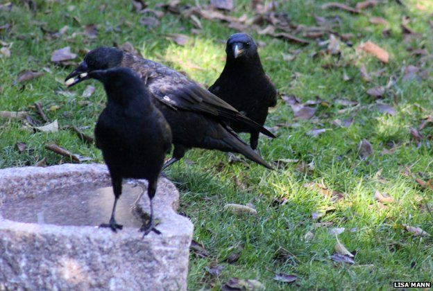 Crows at the birdbath