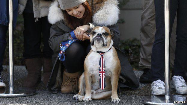 British bulldog wearing a Union Jack tie