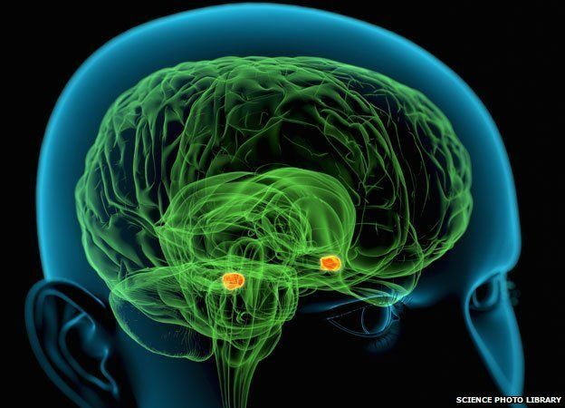 Amygdala in the brain