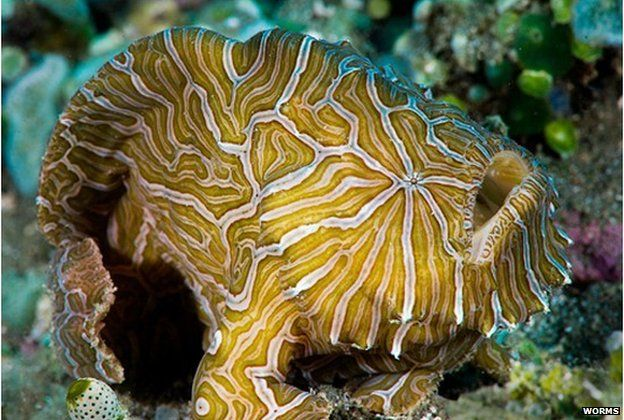Histiophryne psychedelica: An Indonesian frogfish