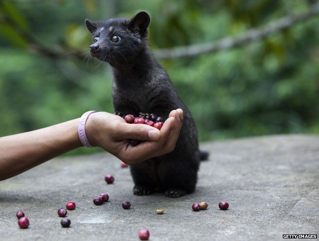 A civet with red coffee beans