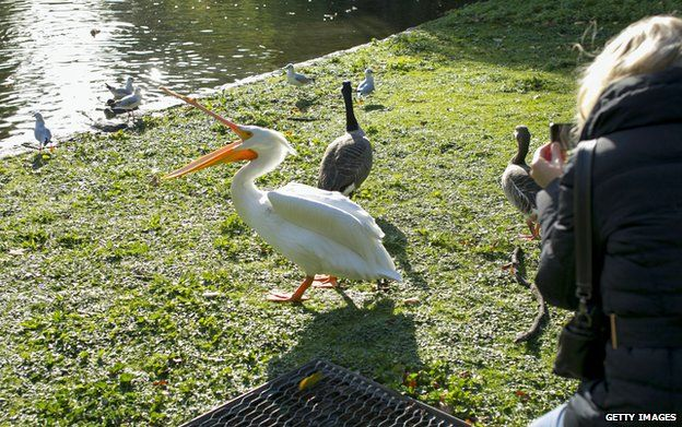 Someone takes a photograph of a pelican in St James Park