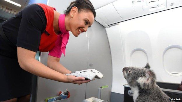 Koala on Qantas 'cabin'