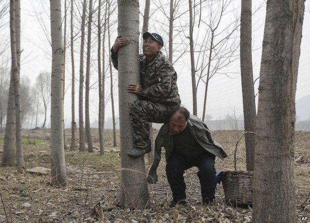 Lifting haixia up the tree