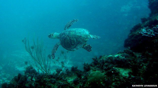Hawksbill turtle swimming in the sea