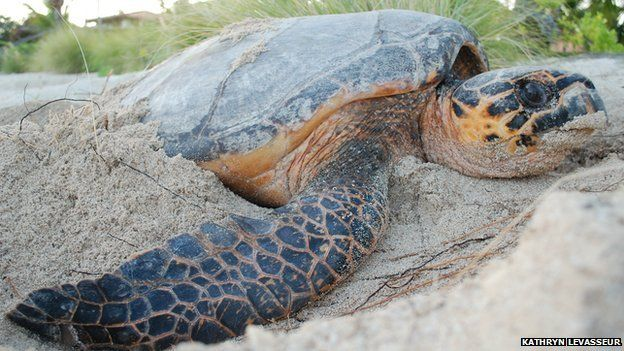 """Turtle in its """"nesting trance"""""""