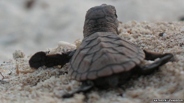 Back view of Hawksbill turtle