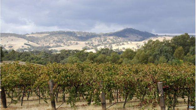 A vineyard in the Barossa Valley near Adelaide, Australia