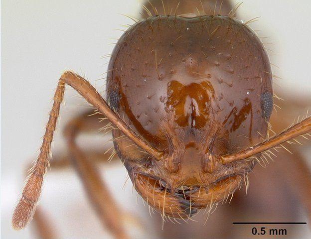 The fire ant species Solenopsis invictica (c) Antweb