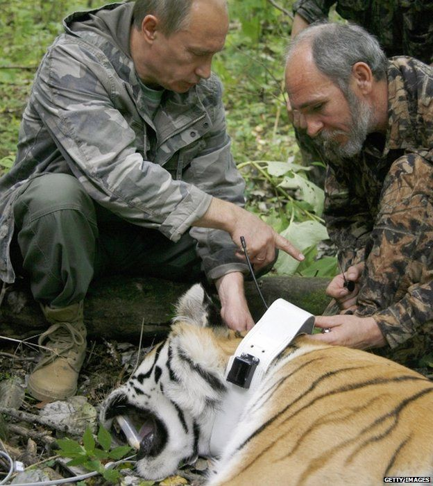 Vladimir Putin (left) fixes a GPS-Argos satellite transmitter to a tiger in the Russian Far East, 31 August 2008