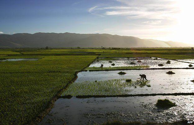 Rice farmer in Haiti