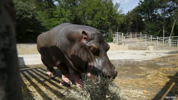 Begi, a hippopotamus that escaped the zoo on Sunday, is seen at a zoo in Tbilisi, Georgia, on 15 June 2015.