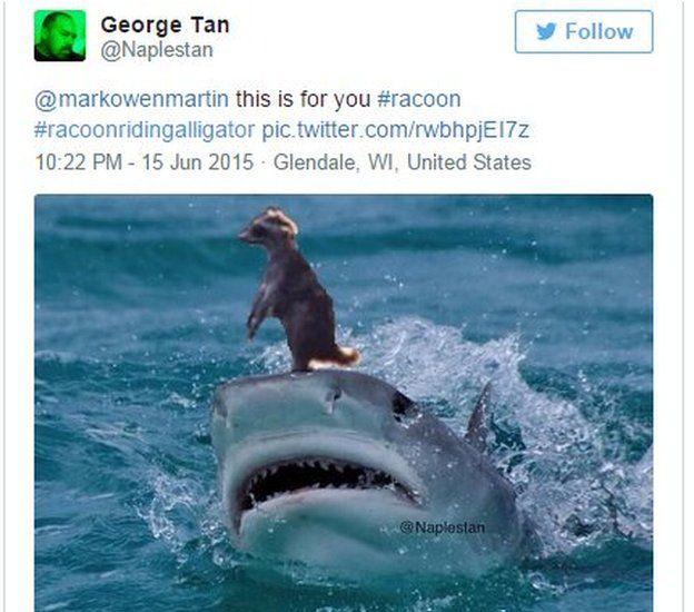 racoon rides shark