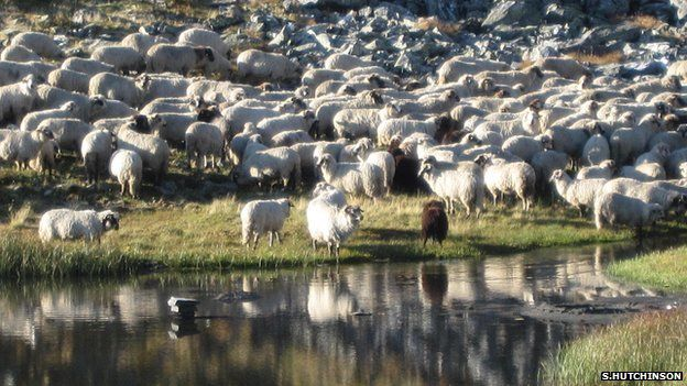 Flock of sheep by water's edge
