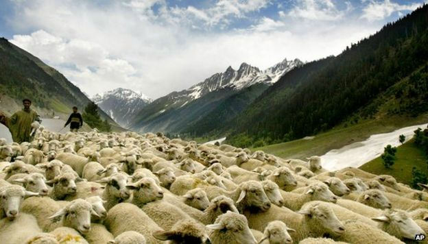 Sheep in Jammu and Kashmir