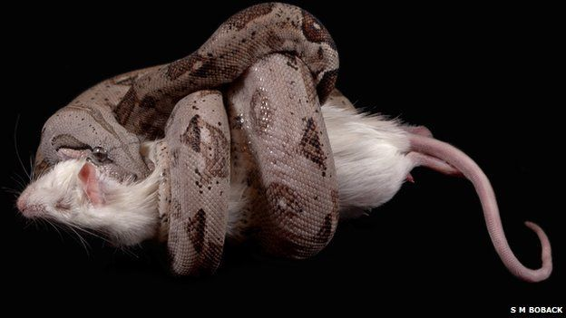 Boa constrictor with rat (c) Scott M Boback