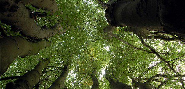 Multi-stemmed beech tree in urban green space (Image: BBC)