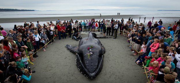 Beached whale in British Columbia