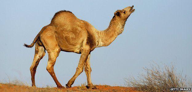 Wild camel