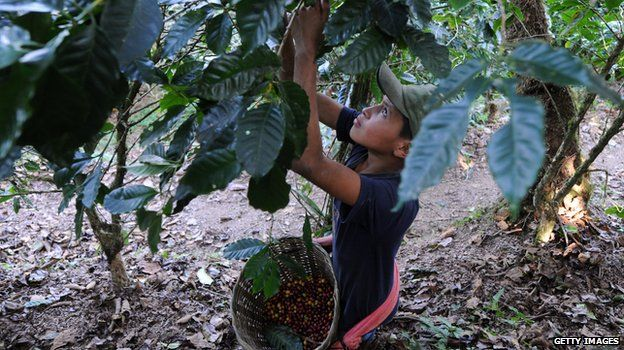 A child harvests coffee beans
