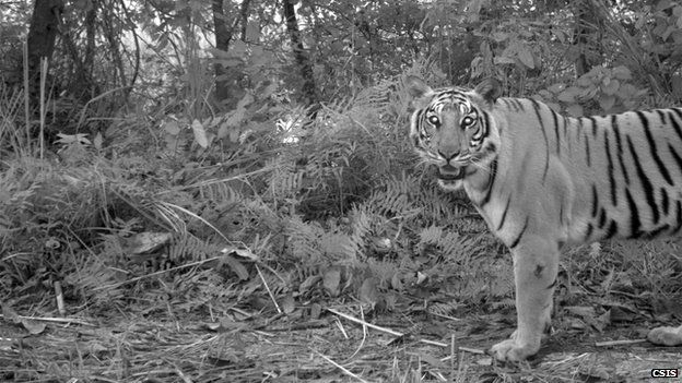 Tiger in Chitwan National Park