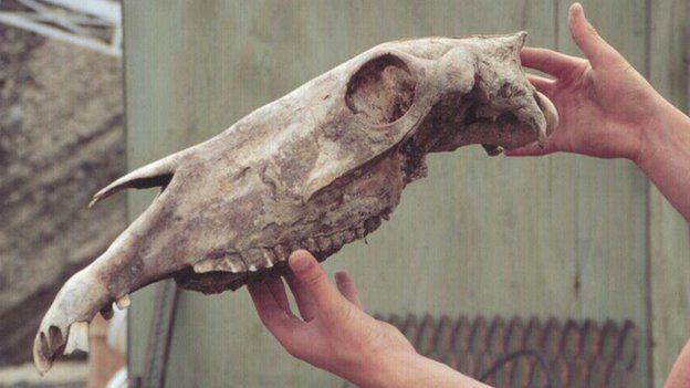 Late Pleistocene Horse skull, Equus lambei, from the Klondike region, Yukon