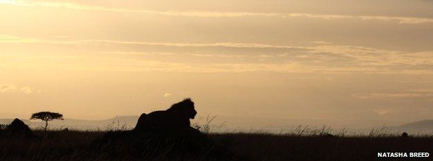A lion in the wild in Africa