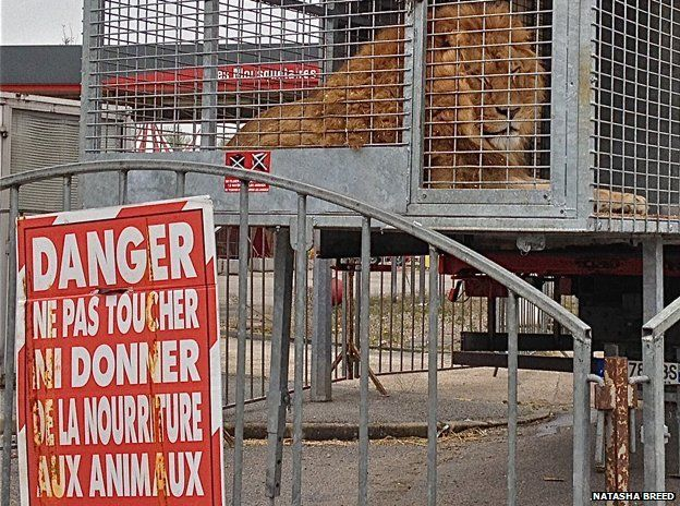 Lion in a cage outside the circus
