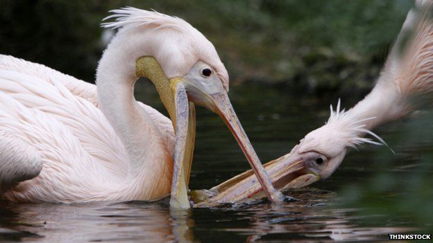 Two competing white pelicans