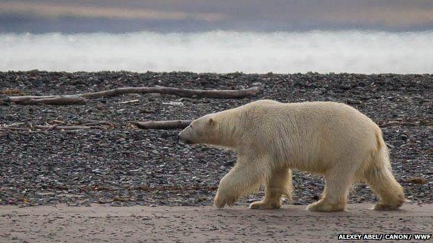 Polar bear at Cape Tsvetkov, 21 Aug 13