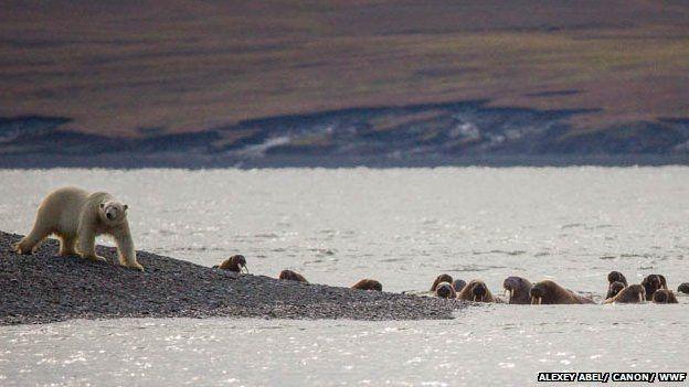 A polar bear at Cape Tsvetkov with walruses, 21 Aug 13