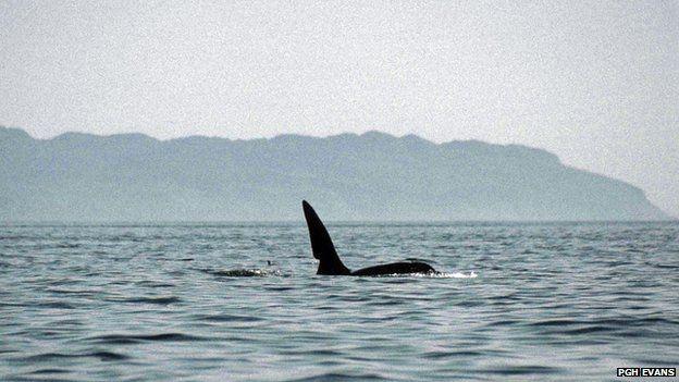 Killer whale John Coe off Eigg