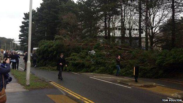 Tree blown over in Aberystwyth