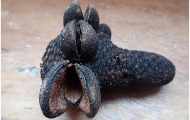 A banksia bush seed pod