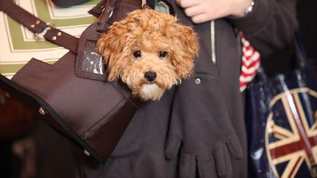 Dog in handbag