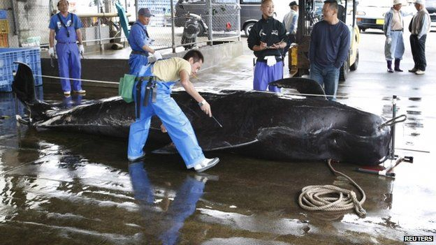 File photo: A captured short-finned pilot whale is measured by fishery workers, including Fisheries Agency employees, at Taiji Port in Japan's oldest whaling village of Taiji, 420 km (260 miles) southwest of Tokyo, 4 June 2008