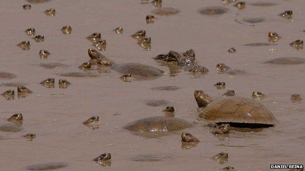 Tortoises in Casanare