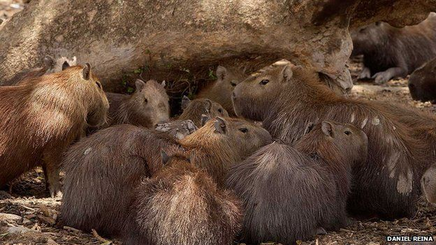 Capybaras in Casanare