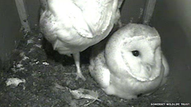 Somerset Barn Owl Webcam Watched From Across The World Bbc News