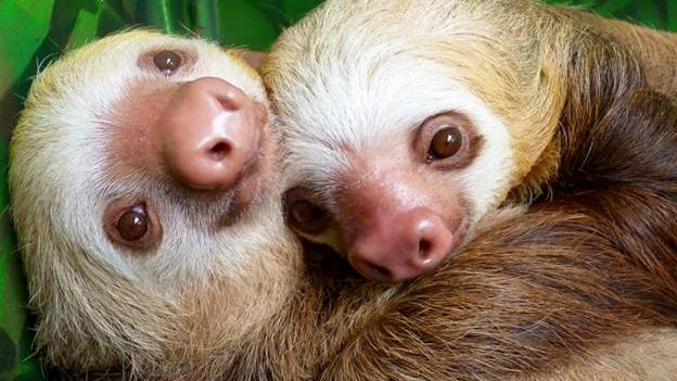 Young sloths