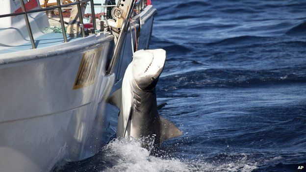 In this photo released by Sea Shepherd, a male tiger shark hangs tied up on a fishing boat off Moses Rock on the Western Australian coast, on Saturday, 22 Feb, 2014