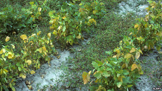 Weeds growing among soya plants