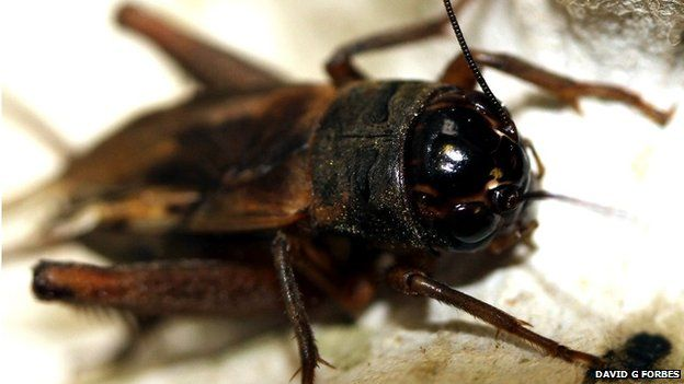 flatwing cricket