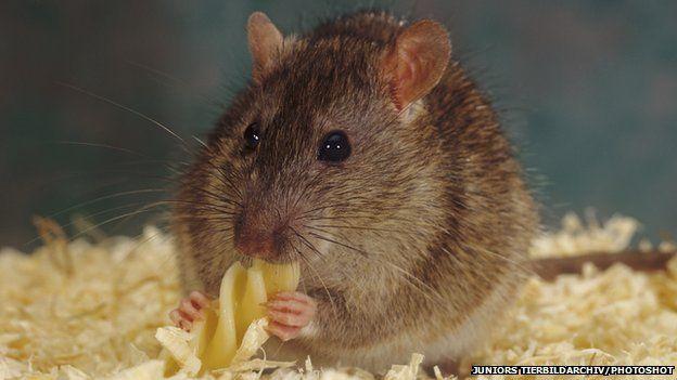 Rat eating pasta