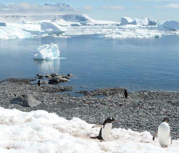 Gentoo penguins at Cuverville Island