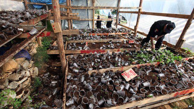 Albanian police officers display seized marijuana plants in the lawless village of Lazarat, 230 kilometres (140 miles) south of capital Tirana on 20 June 2014