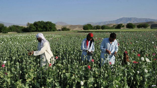 File photo: Afghan farmers collect raw opium as they work in their poppy field in Khogyani District of Nangarhar province, 29 April 2013